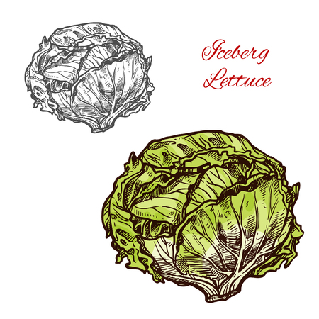 Iceberg lettuce vector sketch vegetable Stock Vector - 104009894