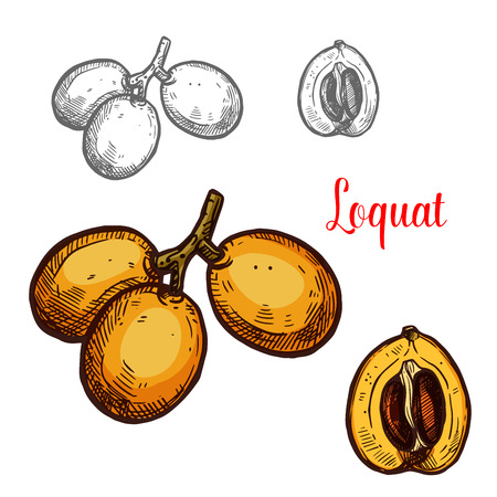 Loquat vector sketch tropical fruit