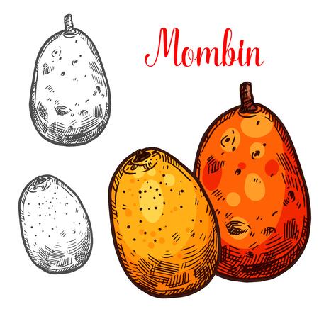 Mombin vector sketch tropical fruit Stok Fotoğraf - 104013401