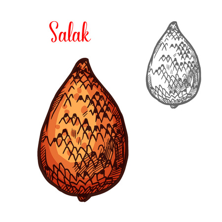 Salak or snake fruit of indonesian palm sketch