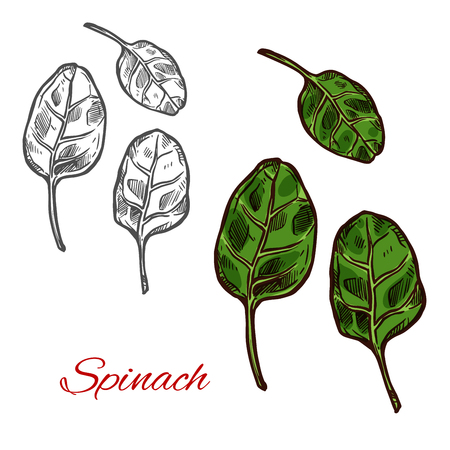 Spinach vegetable sketch with fresh green leaf
