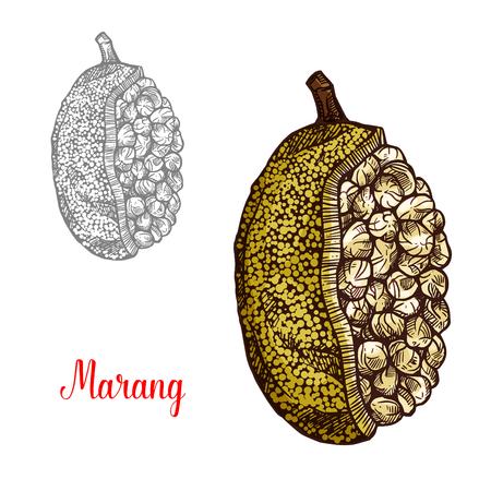 Marang, terap or johey oak exotic fruit sketch