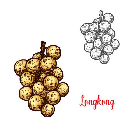 Longkong exotic fruit vector sketch. Botanical design of tropical Lansium parasiticum langsat or lanzones fruit for juice, food or farmer market and agriculture design