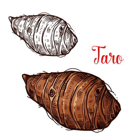 Taro tropical tuber vector sketch. Botanical design of Colocasia esculenta plant corm for natural exotic product of harvest for farmer market or agriculture