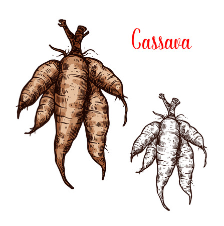 Cassava tuber vector sketch. Botanical design of manioc, yuca or mandioca and Brazilian arrowroot or Manihot esculenta of tropical exotic vegetable for farmer market or agriculture Foto de archivo - 104313547
