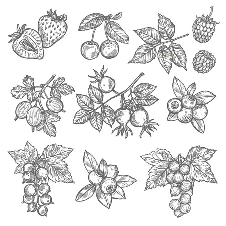 Garden and wild berries sketches. Strawberry, cherry and blueberry, raspberry, gooseberry and briar, red and black currant with leaf icon for food and natural juice design