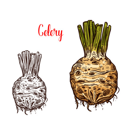 Celery round root, fresh healthy food, monochrome and color sketches. Healthy organic vegetable full of vitamins. Picante tasty hard natural edible celery used in salads and dishes vector isolated. Stock Illustratie