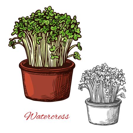Watercress salad vegetable vector sketch