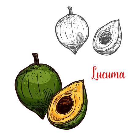 Lucuma green tropical fruit sketch. Vector botanical design of pouteria lucuma fruit for farm fruit market, juice or jam package. Isolated on white