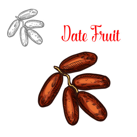 Fruits tropicaux de croquis de vecteur de dates