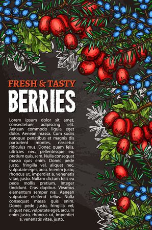 Berries sketch poster of fresh tasty forest berry harvest. Vector design of juniper fruit, or hawthorn and whitethorn tree berry for farmer fruit store or market