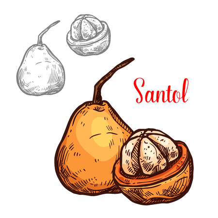 Santol yellow tropical fruit sketch. Vector botanical design of Sandoricum koetjape species of santol or sathon cottonfruit for farm fruit market, juice or jam package