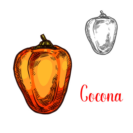 Cocona exotic fruit of tropical tree isolated sketch. Ripe orange cocona fruit, sweet berry of amazonian rainforest plant icon for natural vegetarian nutrition, peruvian sauce recipe design