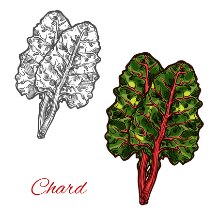 Chard or beet spinach green leaf vegetable sketch