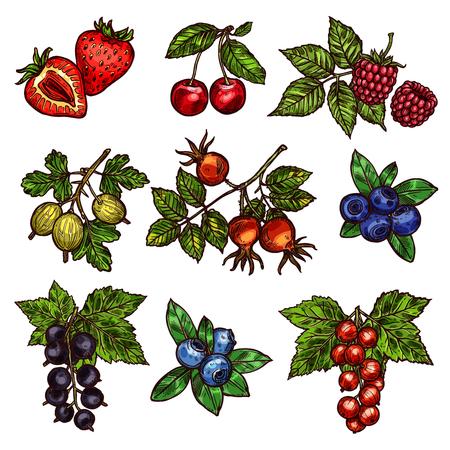 Beerenzweigskizze von frischen Gartenfrüchten. Erdbeere, Kirsche und Blaubeere, Himbeere, Stachelbeere und Bruyere, rote und schwarze Johannisbeere mit grünen Blattsymbolen für Vitaminnahrung und natürliches Saftdesign
