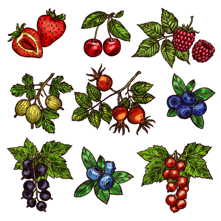 Berry branches sketch of fresh garden fruits. Strawberry, cherry and blueberry, raspberry, gooseberry and briar, red and black currant with green leaf icons for vitamin food and natural juice design Vettoriali