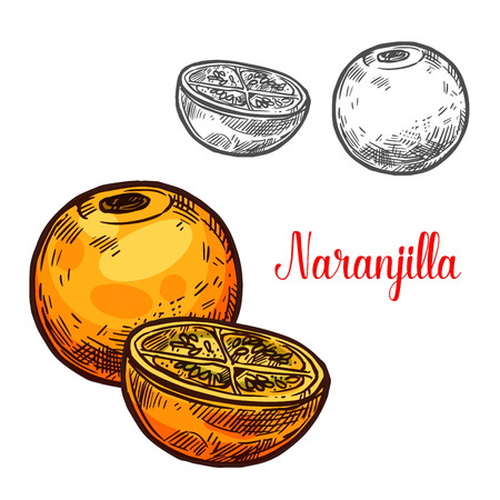 Naranjilla exotic fruit vector sketch. Botanical design of tropical Solanum quitoense or lulo fruit for juice, food or farmer market and agriculture design  イラスト・ベクター素材