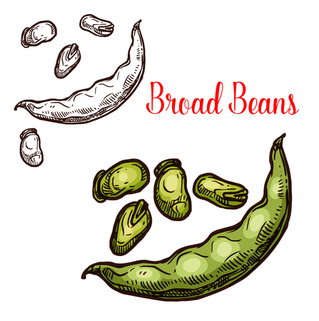 Bread bean vector sketch plant. Botanical design of vicia faba or broad and fava bean seeds in pod for farmer market and agriculture design Иллюстрация