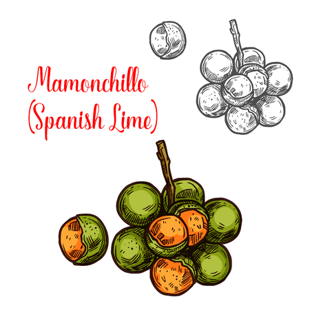 Mamonchillo lime vector sketch tropical fruit. Botanical design of Spanish lime or Melicoccus bijugatus for juice, food or farmer market and agriculture design