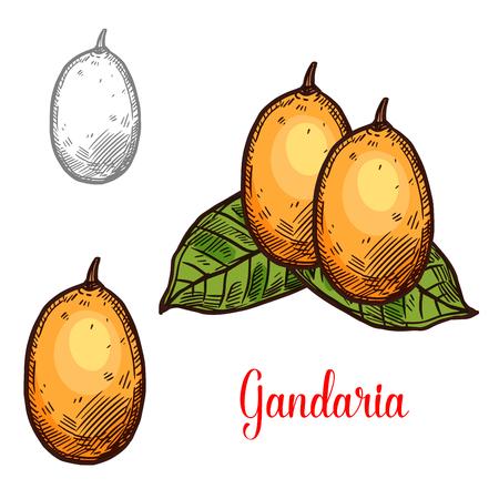 Gandaria exotic fruit vector sketch. Botanical design of tropical Bouea macrophylla fruit for juice, food or farmer market and agriculture design Foto de archivo - 112378990