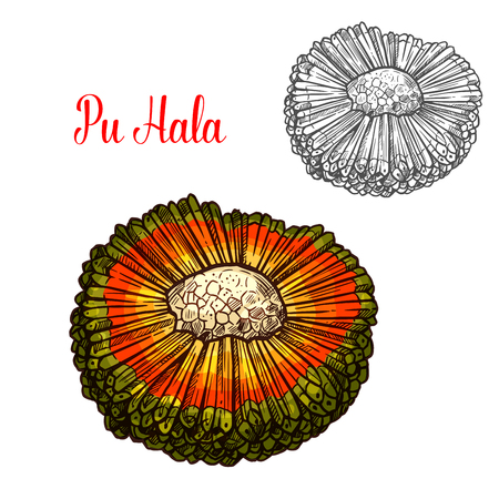 Hala fruit sketch of exotic Hawaiian palm tree. Tropical panadanus fruit with orange and green husk isolated icon for exotic vegetarian dessert, farm market and healthy snack design