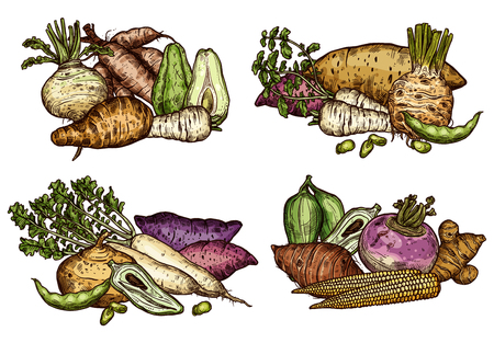 Exotic vegetables and beans icons of fresh farm food product. Radish, celery and corn, parsnip, turnip and sweet potato, bean, yam and arracacia, rutabaga, cassava, jicama and caigua veggies sketch