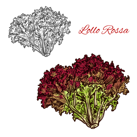 Lollo rossa lettuce leaf vegetable isolated sketch with bunch of salad greens. Italian lettuce with red and green frilly leaves for diet food, vegetarian salad recipe and farm market label design 일러스트