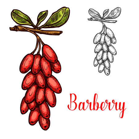 Barberry fruit isolated sketch with red berry. Branch of berberis plant with ripe fruit and green leaf icon for asian food ingredient, spice and condiment themes design