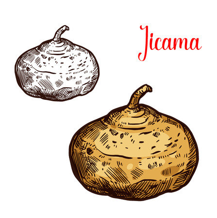 Jicama vector sketch. Botanical design of Mexican yam bean or turnip vegetable or Pachyrhizus erosus tropical fruit for food or farmer market and agriculture design Stok Fotoğraf - 112276151