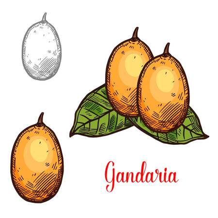 Gandaria exotic fruit vector sketch. Botanical design of tropical Bouea macrophylla fruit for juice, food or farmer market and agriculture design