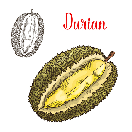 Durian sketch. Vector isolated fruit icon of exotic durio cut or sliced to flesh. Smelly tropical fruit of Thailand or Asia for grocery store, shop and farm market Illustration