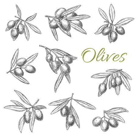 Olives and olive branches sketch vector. Set of olive-tree bunches with fresh rip green or black fruits for culinary cooking seasoning product emblem or salad dressing ingredient and condiment