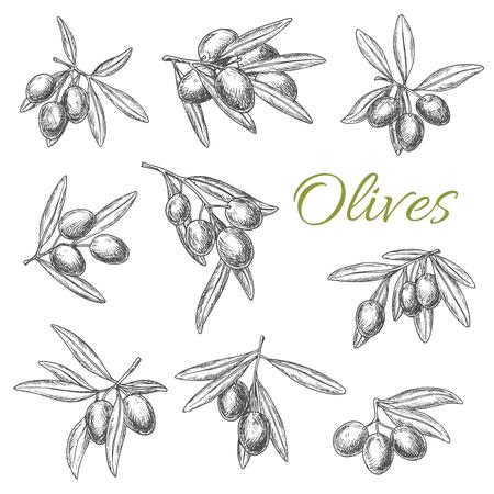 Vector de dibujo de aceitunas y ramas de olivo. Conjunto de racimos de olivos con frutas frescas verdes o negras para el emblema del producto de condimento de cocina culinaria o ingrediente y condimento de aderezo para ensaladas