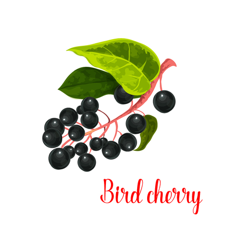Bird cherry icon. Vector isolated berry of prunus or padus species. Bunch of fresh sweet bird cherries fruits on branch for jam or grocery and farm market