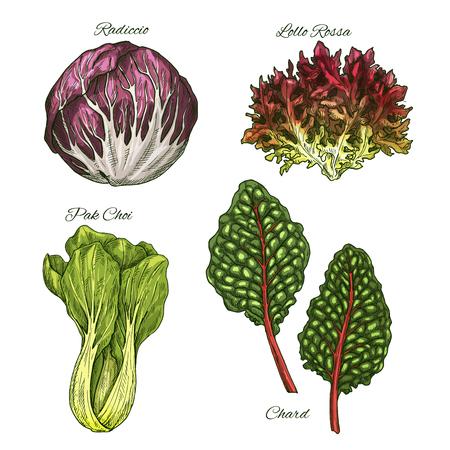 Sla salades en groenten bladeren vector schets iconen. Geïsoleerd blad van snijbiet, radicchio of lollo rossa en paksoi. Vegetarische keukeningrediënten en specerijen Vector Illustratie