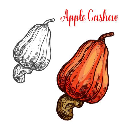 Pomme de cajou avec croquis de noix d'arbre tropical brésilien. Baies exotiques en forme de poire avec icône de graines mûres d'ingrédients alimentaires biologiques sains pour la conception d'étiquettes de collations végétariennes et de marchés agricoles Vecteurs