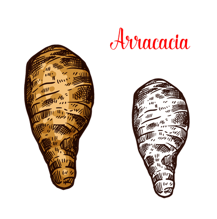 Arracacia vegetable sketch of fresh harvested root veggies. Ripe arracacha taproot vegetable isolated icon of healthy food ingredient for vegetarian salad recipe and farm market label design Illustration