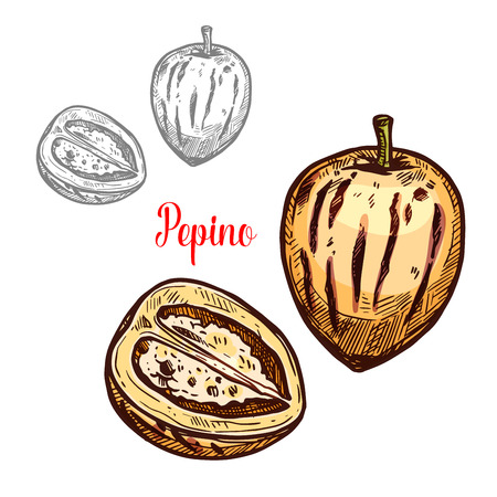 Pepino fruit sketch of exotic melon pear. Whole and cut in half pepino berry with yellow peel isolated icon for tropical dessert ingredient, vegetarian snack food and fruity salad recipe design Ilustração
