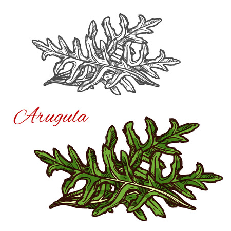 Arugula plant isolated sketch of green leaf vegetable. Fresh bunch of garden rocket herb, natural organic food ingredient icon for healthy diet and vegetarian salad recipe design