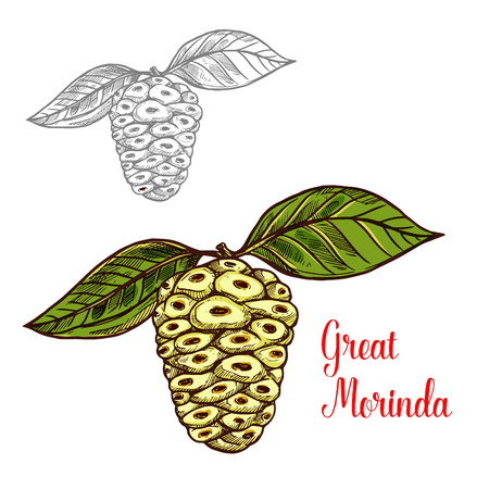 Great morinda or Indian mulberry sketch of tropical fruit. White berry of noni tree fruit with green leaf icon of healthy food and drink ingredient for juice or jam label, vegetarian recipe design