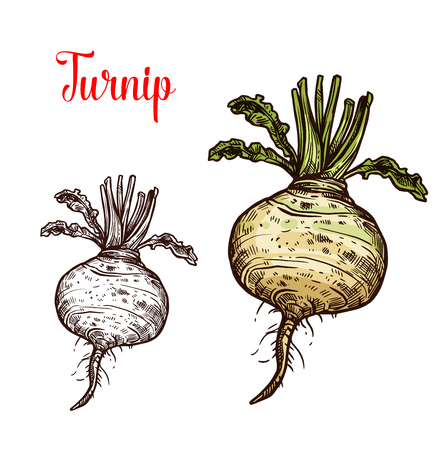 Turnip vegetable vector sketch. Botanical design of Brassica rapa plant root for vegetarian or vegan food, farmer market and agriculture or cooking recipe design