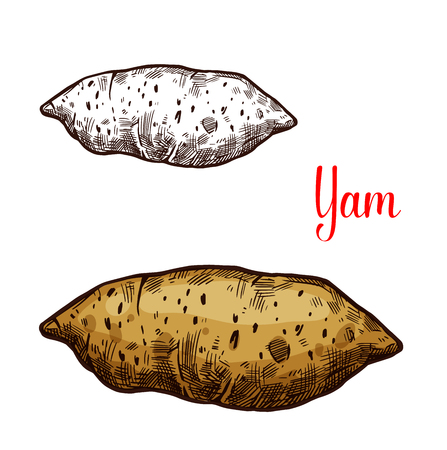Yam vegetable vector sketch. Botanical design of sweet potato of Dioscorea plant root for vegetarian or vegan food, farmer market and agriculture or cooking recipe design
