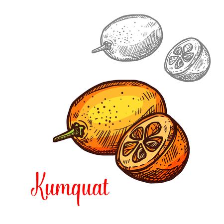 Exotic fruit kumquat vector image. Fresh exotic fruit kumquat vector design. Kumquat hand drawn design isolated on white background. Exotic tropical fruit image, vegetarian food concept Illustration