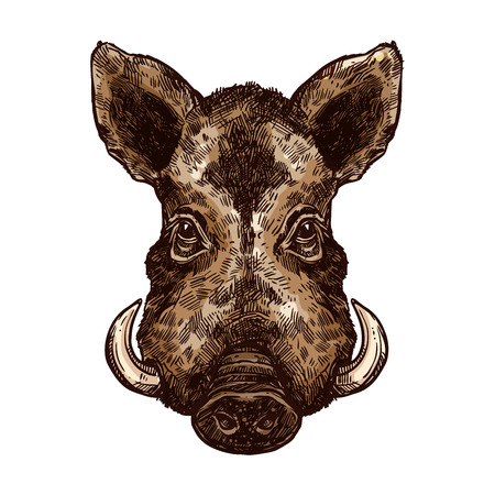 Boar, wild pig animal sketch. Hog or african warthog head isolated vector icon of forest and safari mammal with sharp tusk for hunting club symbol, zoo mascot or wildlife themes design