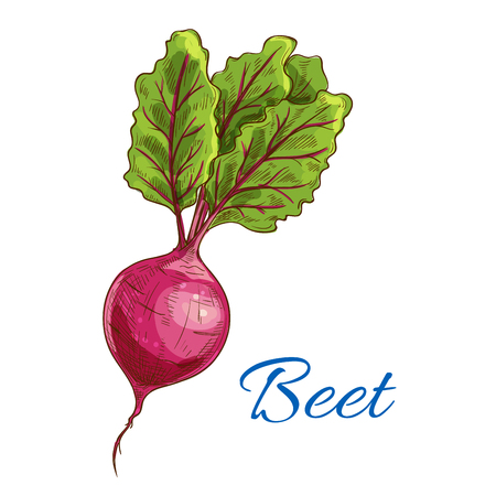 Beet. Fresh farm vegetable icon with leaves. Vector isolated sketch emblem of ripe beet tuber. Vegetarian product design for grocery shop, food market tag, vegetable juice label