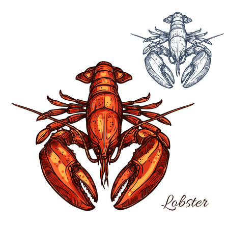 Lobster isolated sketch. Red marine crustacean with large claws. Seafood restaurant menu, fish market, healthy food themes design