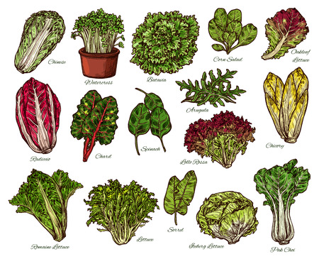 Vegetarian salads and lettuce vegetables sketch. Vector isolated of vegan chicory and oakleaf or iceberg lettuce, spinach or pak choi cabbage and sorrel with watercress veggie and chard Foto de archivo - 110288572