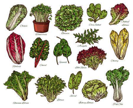 Vegetarische salades en sla groenten schets. Vector geïsoleerd van vegan witlof en eikenblad of ijsbergsla, spinazie of paksoi kool en zuring met waterkers, groente en snijbiet