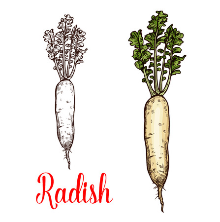 Radish vegetable vector sketch. Botanical design of Raphanus raphanistrum plant root for vegetarian or vegan food, farmer market and agriculture or cooking recipe design Imagens - 110288576