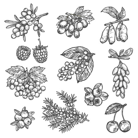 Berries sketch of raspberry, strawberry, sea buckthorn or hawthorn and whitethorn fruits. Forest cherry, lingonberry or cowberry and bilberry, viburnum berry or blueberry and currant with honeysuckle 일러스트